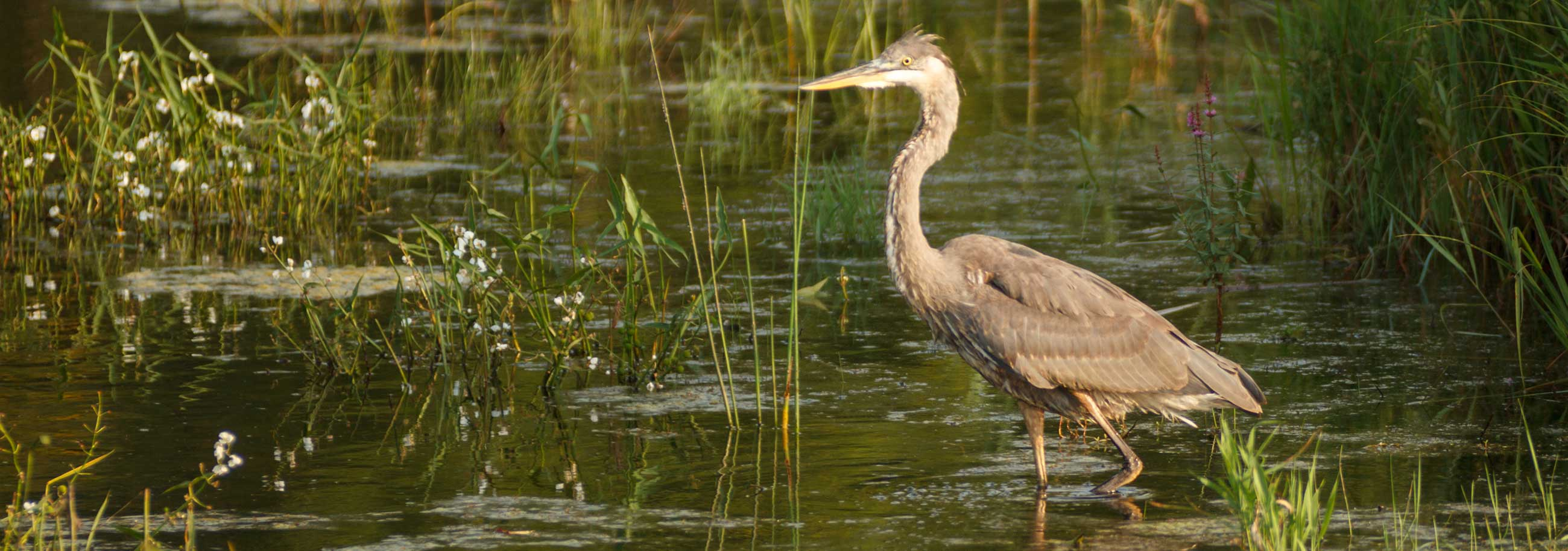 Bird in Marsh from Fox River Trustee Council in Green Bay, WI